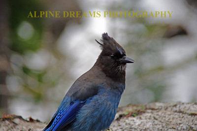 Black-Blue-Bird-1