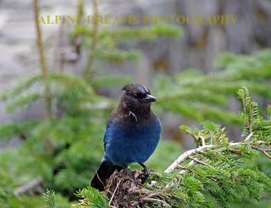 Black-Blue-Bird-2