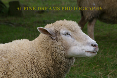SHEEP-LOOK-UP