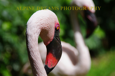 FLAMINGO-EYE