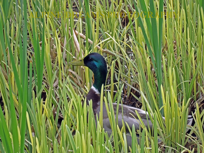 DUCK-IN-THE-REEDS