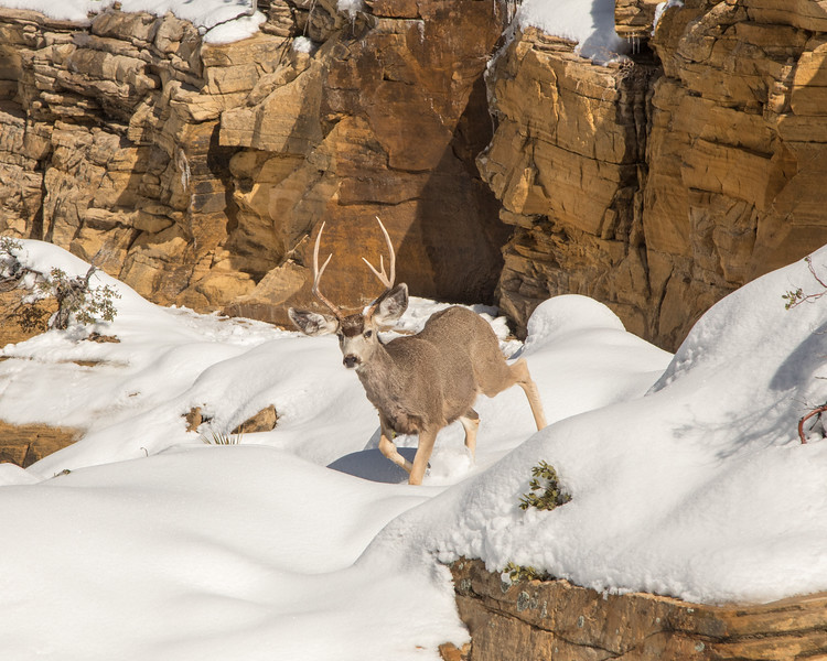 Snow Buck - Zion National Park - Utah