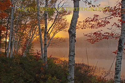 BIRCHES  & EARLY MIST