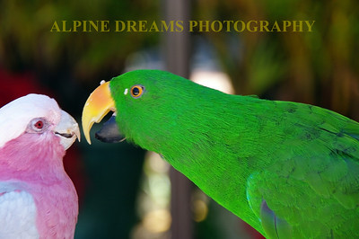 Called Pink & Green Parrots this shot was a Great day in Hawaii. if this picture had sound you could hear the Green Guy courting the Pink Girl.  It was Cool!