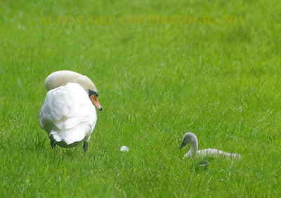 SWAN-and-BABY