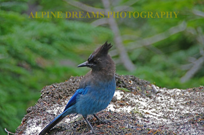 Black-and-Blue BIRD-with-ATTITUDE
