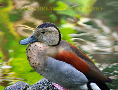 BLUE-BILLED-DUCK-out-of-WATER
