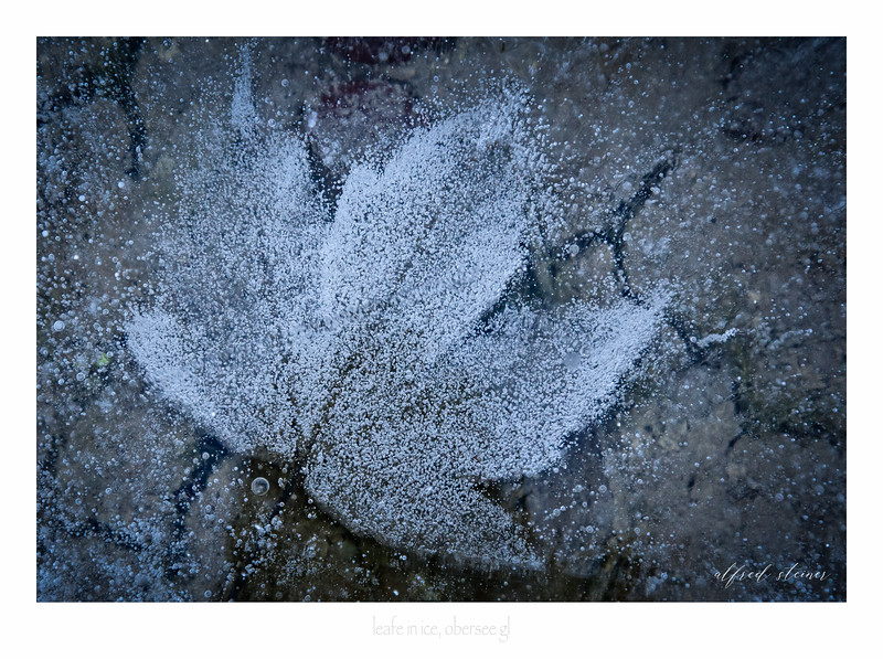 leaf in ice