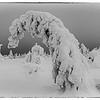 icy tree II