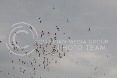 Birds at Bill Snyder Family Stadium on Oct. 14, 2017. (Logan Wassall   Collegian Media Group)