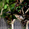 The Sparrow 'No Tail'
