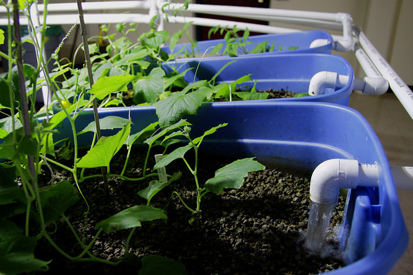 Aquaponics Project at Temple Ambler