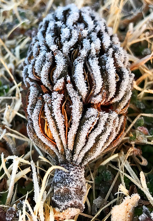 Kevin Harvison | Staff photo<br /> A magnolia seed pod lays covered in frost Monday morning as morning lows continue to be below the freezing line.