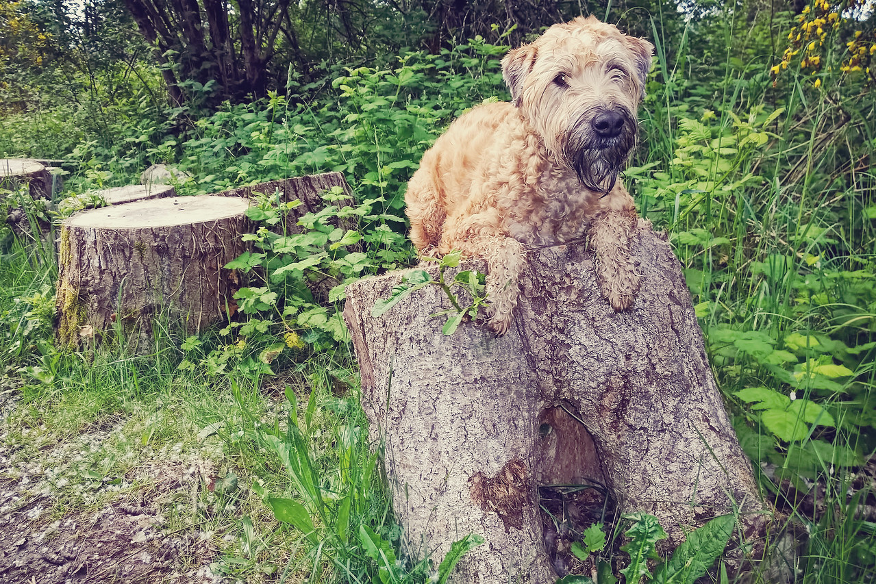Stumping for Wheatens