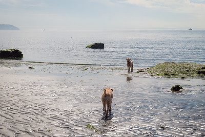 Olive stalking Bailey at Double Bluff Beach on Whidbey Island, WA.