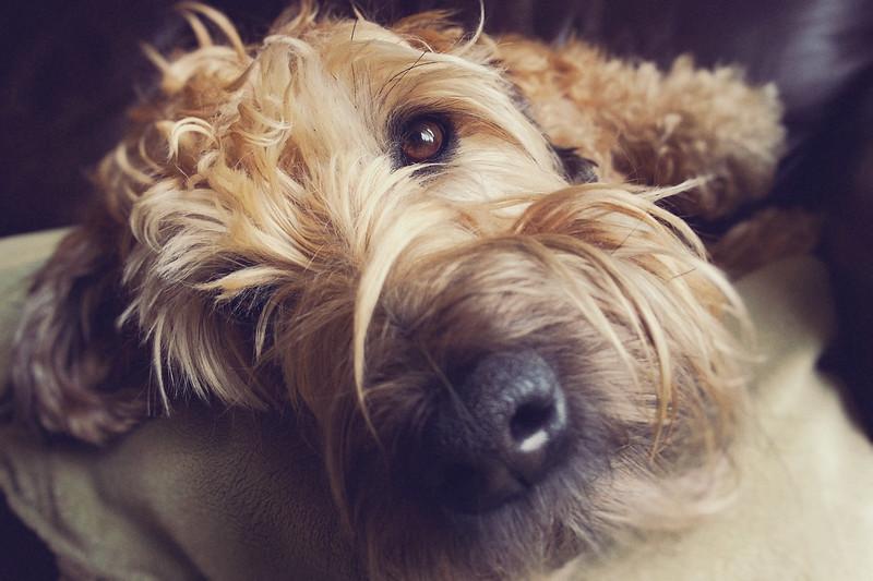 Big, Brown, Puppy Eye