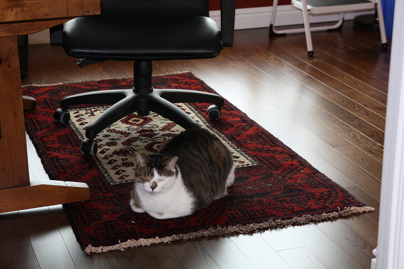 Indy approves of the new Persian rug in the office. Real wool, I hope it wears well and doesnt fade!