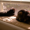 Indy and Guinness sharing a last window sill sunbeam together.