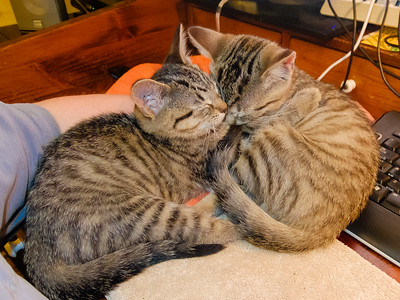 This is why you get kittens in pairs; littermates are best buds from the start.