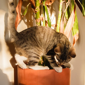 The kittens will finally kill this ill-tended house plant.