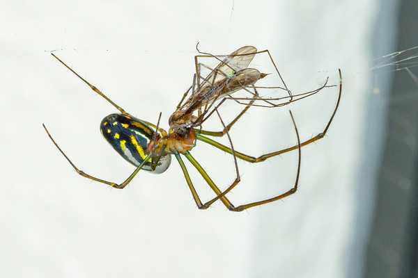 Hungry Spider taking care of Mosquitos