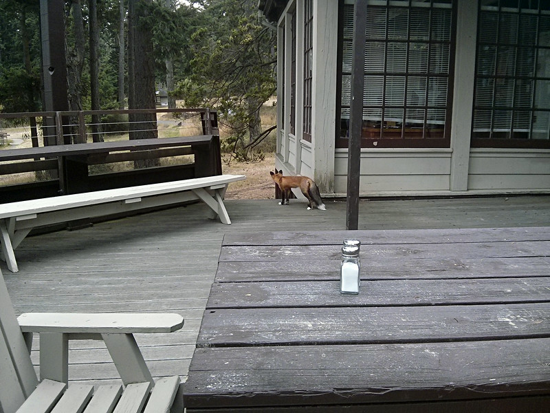This fox came to hang out with us at dinner.