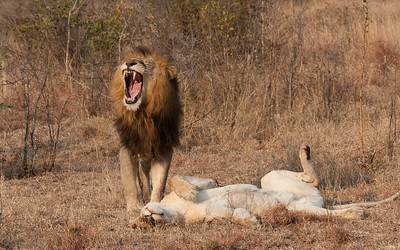Post Mating Lions