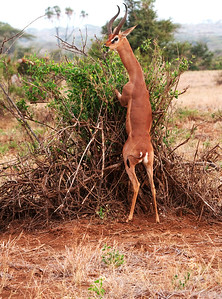 Gerenuk's  Bush Lunch
