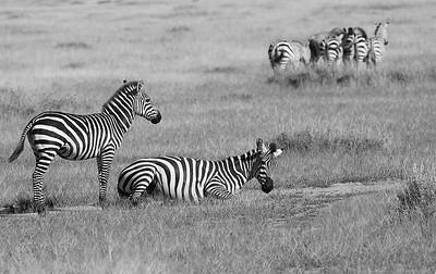 Departing Zebras
