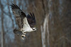 Osprey in flight with rainbow trout • Onondaga Creek, South Onondaga, NY • 2013