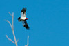 Red-headed Woodpecker spreads wings in flight • May's Point at Montezuma NWR, NY • 2013