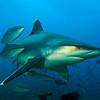 shark_fiji_yanover