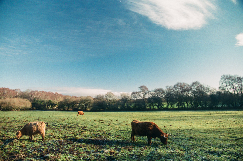 highland cattle, norden common, dorset