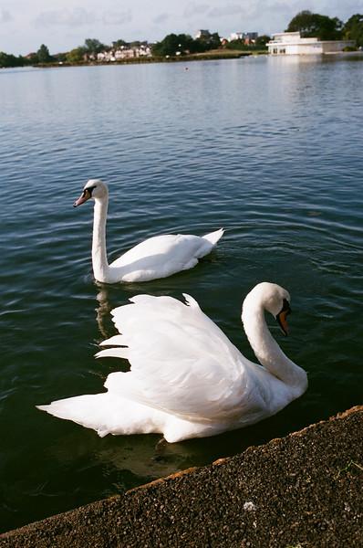 Mute Swans, Poole Park, Dorset