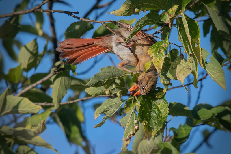 Northern Cardinal female snatches berry • Magee Marsh NWR, OH • 2017