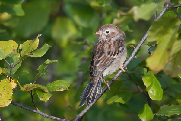 Field Sparrow shows off its feathers • Jim Shug Trail at Dryden Lake, NY • 2020