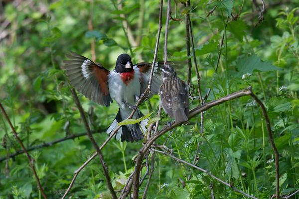 Rose-breasted Grosbeak couple, male with wings raised • Howland Island, Northern Montezuma WMA, NY • 2018