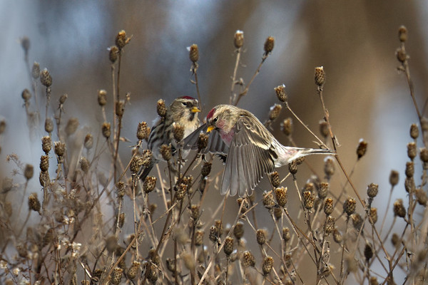 Common Redpolls - male and female feeding in field • my house, South Onondaga, NY • 2020