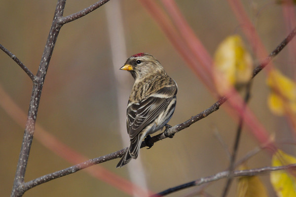 Common Redpoll • Onondaga Lake West Shore Trail, Syracuse NY • 2020