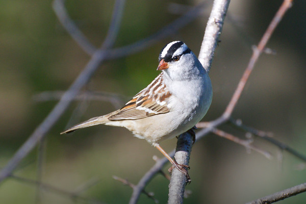 White-crowned Sparrow male poses • my back yard, South Onondaga, NY • 2011