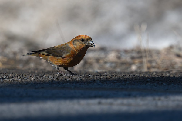 Red Crossbill immature male up close on ground • Morgan Hill State Forest, Truxton NY • 2021