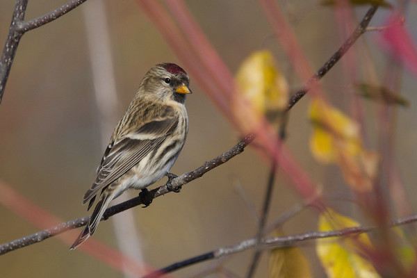 Common Redpoll poses close up • Onondaga Lake West Shore Trail, Syracuse NY • 2020