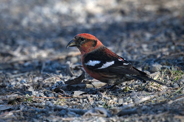 White-winged Crossbill male up close standing on ground (rare) • Morgan Hill State Forest, Truxton NY • 2021