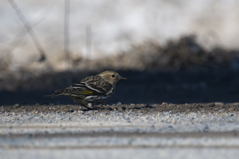 Pine Siskin adult on ground • Morgan Hill State Forest, Truxton NY • 2021