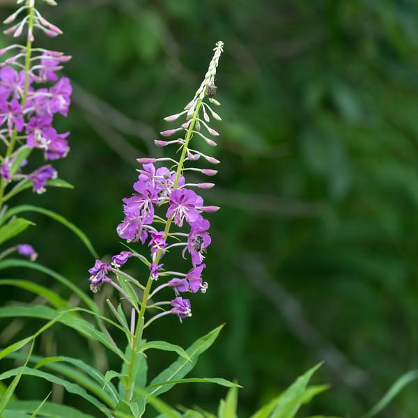 Closeup of  wild flowers, Riding Mountain National Park, Manitoba, Canada