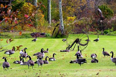 Field of Geese