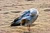 SeagullPreen_7333