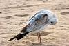 SeagullPreen_7330