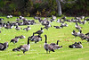 Geese0092x