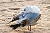SeagullPreen7338